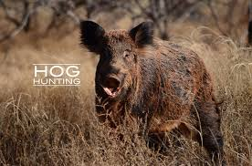 Hog Hunting Memes - ridgeback creek hog hunts home facebook
