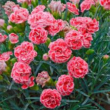Fragrant Plants Dianthus Pinks Carnation