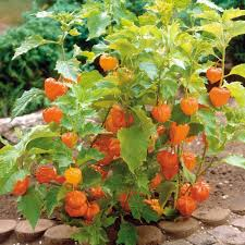 lantern seeds flower produces ornamental flower orange seed