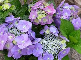 flower hydrangea hydrangea