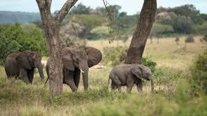 african safari animals african safari big 5 four seasons safari lodge serengeti