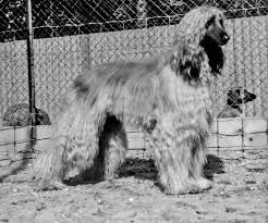 afghan hound breeders europe history eta pauptit and the vdom afghan hounds