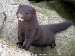 weasel like mammals of new york