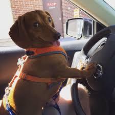 Dog In Car Meme - wiener dog in car blank template imgflip