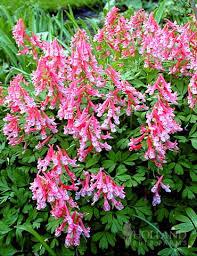 67 best zone 7 shade perennials images on pinterest gardening