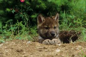 Mother In Law Houses U S House Sanctions Killing Hibernating Bears Wolf Pups In Their