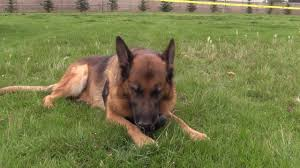 belgian shepherd vancouver canadian police canine association national trials youtube