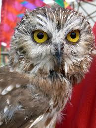 acadian owl wiktionary