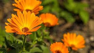 calendula flowers 5 things you need to about calendula rodale s organic
