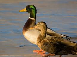 male and female mallard ducks desktop backgrounds 2560x1600