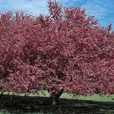 Profusion Flowering Crabapple - malus almey flowering crabapple flowering trees stark bro u0027s