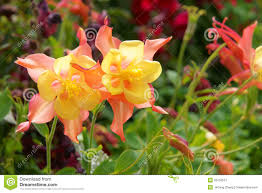 columbine flowers columbine flowers stock photography image 33156512