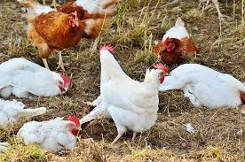 Guide To Raising Backyard Chickens by Guide To Backyard Chicken Coops Chickencoopbuyingguide Com
