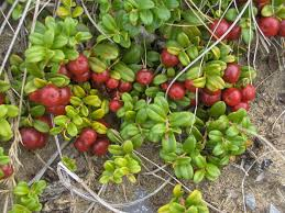 native plants grow on the sand dunes at this beach stock photo cranberries in the dunes wcai