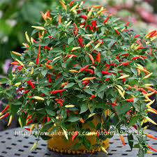 100pcs chili peppers seeds multi color pepper seeds edible