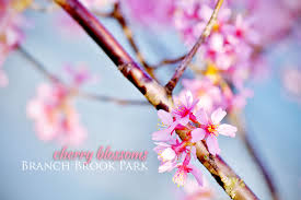 free cherry blossoms wallpaper stylepeterson com