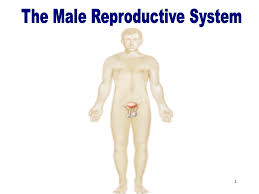The Anatomy Of The Male Reproductive System 1 The Male Reproductive System 2 Objectives After Studying This