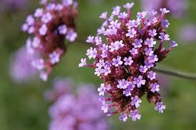 verbena flower how to care for verbena plants