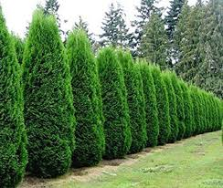 best 25 best trees for privacy ideas on privacy
