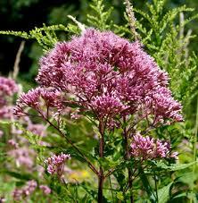 joe pye weed for the pollinator garden honey bee suite