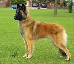 belgian shepherd dog belgian shepherd dog images graphics comments and pictures