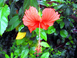 native hawaiian medicinal plants medicinal plants and their malayalam names mohamed iqbal
