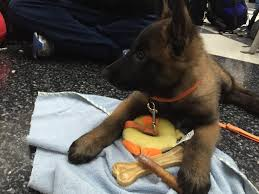 belgian malinois size at 6 months puppy adventure u2013 k9 rivalry