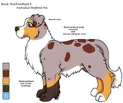 australian shepherd newfoundland newfoundland x aussie mix by figbeater on deviantart