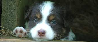 south texas australian shepherd rescue miniature australian shepherd puppies for sale in ga