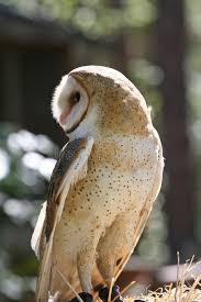 Barn Owl Photography Closeup Profile Of A Barn Owl Raptor Stock Photography Image
