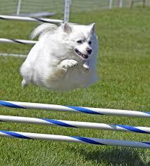 american eskimo dog intelligence europetnet american eskimo dog