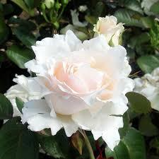rose bushes for sale floribunda hybrid teas u0026 more