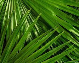 palm branches for palm sunday palm sunday awakenings and hosannas mihee kort