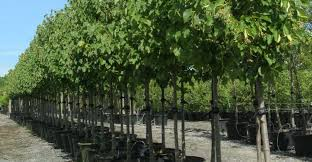 container trees inventory abby farms wholesale nursery