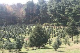 mistletoe christmas tree farm