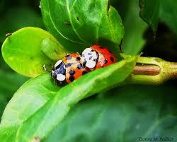 asian lady beetles vs native ladybugs