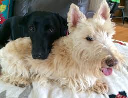 scottish yerrier haircuts reader photos scottish terrier and dog news