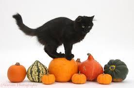 halloween cat background black maine coon kitten on halloween pumpkins photo wp37288