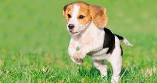 care newborn puppies cesar u0027s