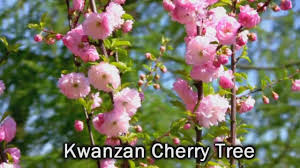 kwanzan japanese cherry trees pink flowering trees spring youtube