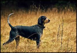 bluetick coonhound youtube bluetick coonhound dog justadogg