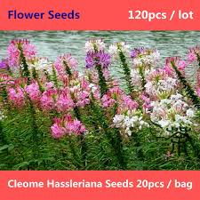 Cleome Flower - aliexpress com buy beautiful and varied cleome hassleriana seeds