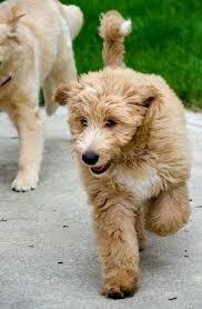 australian shepherd 1 jahr kaufen australian shepherd golden retriever poodle mix google search
