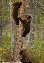 brown teaches cub how to climb fragile looking tree