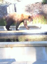 west county bear at koi pond