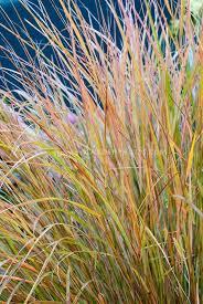 636 best ornamental grasses images on ornamental