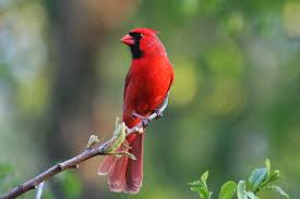 10 hd cardinal bird wallpapers hdwallsource com