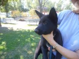belgian shepherd timberwolf shepherd husky wolf hybrid puppies