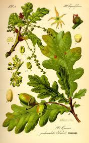 celtic culture june july the oak tree celtic jewelry