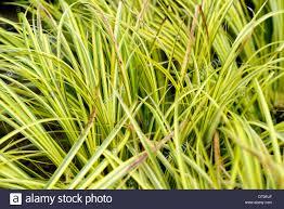 acorus gramineus ogon grass grasses yellow lime green ornamental